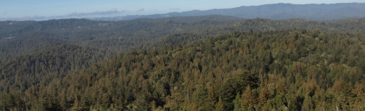 Aerial view of the dense redwood groves of Big Basin Redwoods