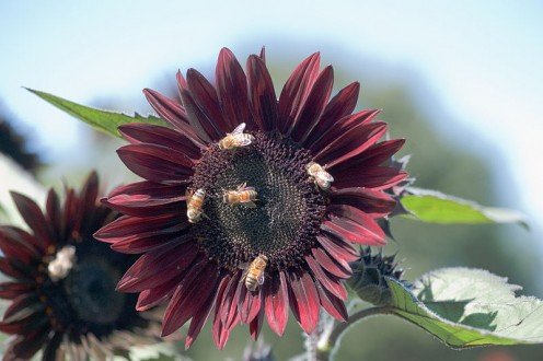 Bees like sunflowers too.