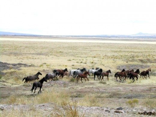 Wild horses in the western plains image:wilimedia