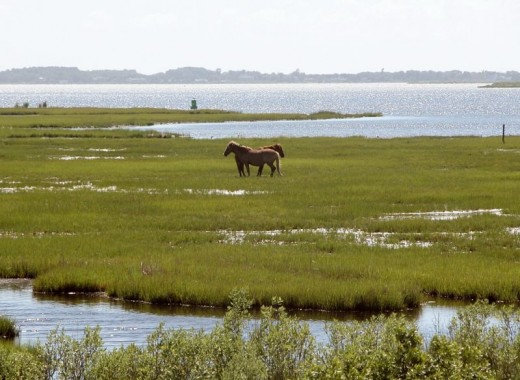 Wild ponies on Assateague image:wikimedia