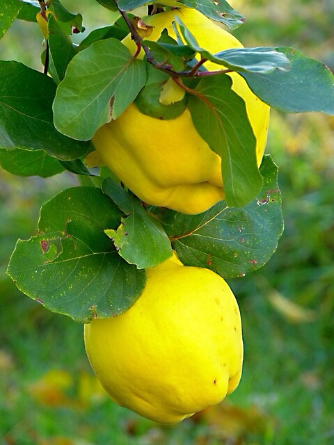 Quince fruits on a tree