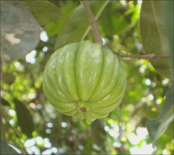 Why is Garcinia Cambogia Good For You and How Do You Take It?