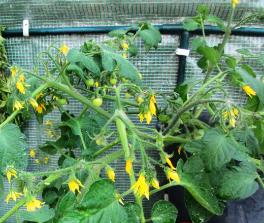 Plenty of flowers on your tomato plants means lots of tomatoes to harvest.  it is important at this stage to keep the plant well watered