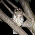 The Owlman: Paranormal Creature in Mawnan, Cornwall
