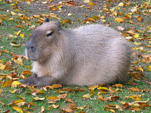 I'd love a capybara.  If we had enough space, and if it didn't seem just a little bit cruel...