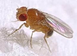 Fruit Flies