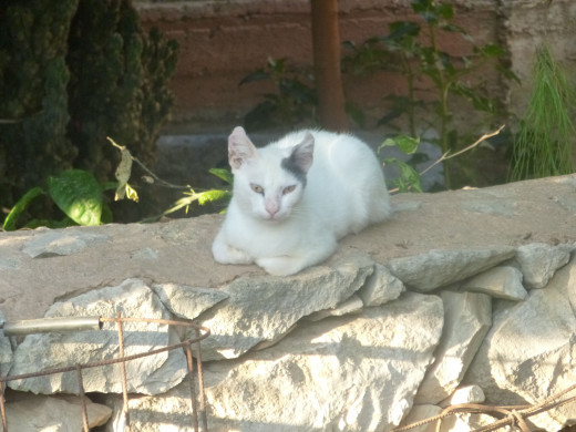 An Aegean cat hangs out amongst a village in Chania, Crete.