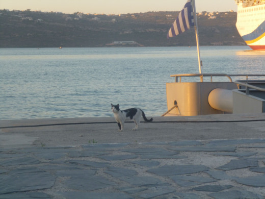 A cookies & creme Aegean wanders along the pier, hoping for a handout or two from a local fisherman.