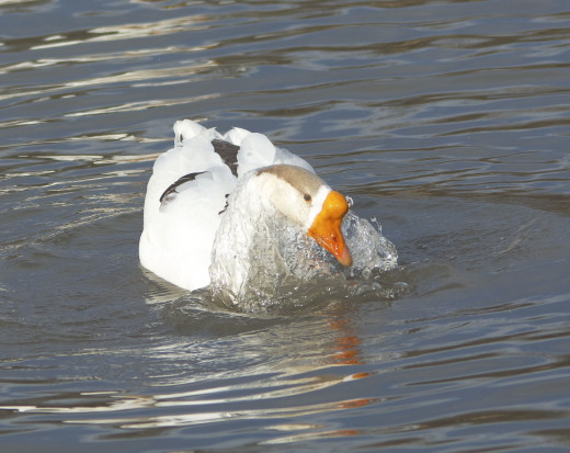 Chinese Crested Goose(Domestic) bathing