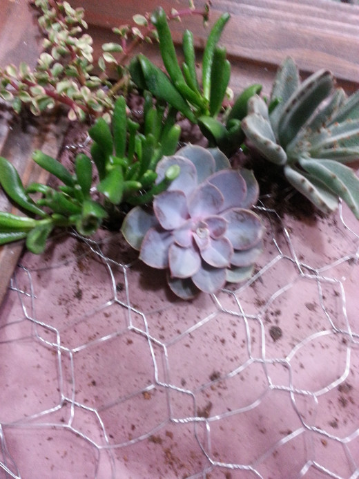 Planting the Succulents.