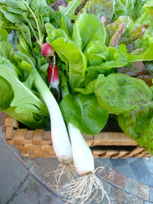 The earliest crops in most gardens are lettuces, radishes, green onions.