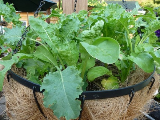 Sneak and extra crop of salad greens in your hanging baskets. They will be harvested long before it is warm enough to put summer blooms in the baskets.