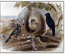 Bowerbirds with Nest