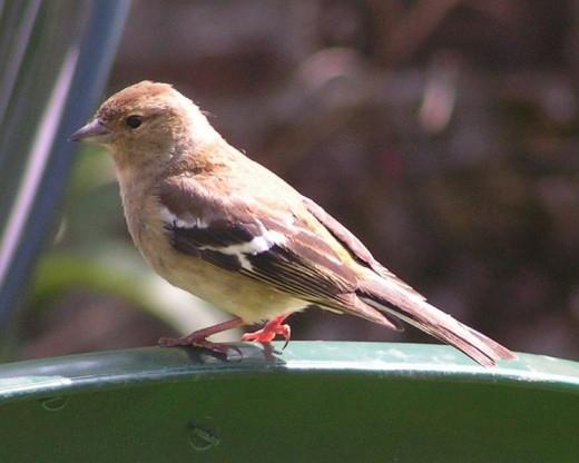 A female Chaffinch (Fringilla coelebs).