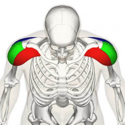 Developing the Deltoid Muscles: Shouldering the Load