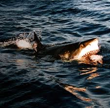 The Great White Shark is an Apex predator that will battle you for hours giving you a one of a kind adventure.