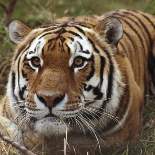 Tiger in the Calgary Zoo