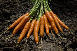 These carrots are longer and can be used in cooking and either peeled or cut up for cooking in culinary dishes or just boil them in water and then eat them with salt and pepper and a little butter on them. That would be a good thing to do.