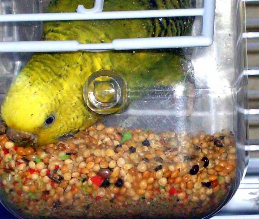 Parakeets (budgies) need seeds in their diet, but a deep dish helps prevent seed hulls from getting all over the place