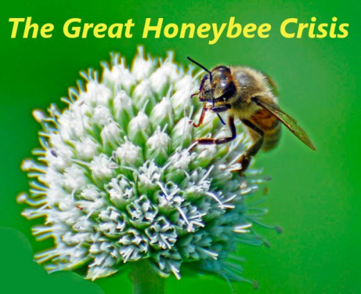 The great honeybee crisis: colony collapse disorder