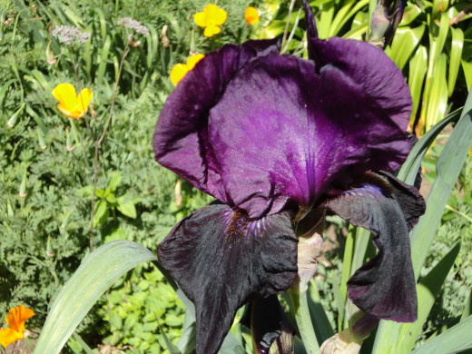 The Iris root also was supposed to help with bad digestion, bad moods, and if the root was boiled with drops of rosewater it was supposed to help cure bruises and remove freckles.  Iris root was once used for the relief of cramp and for sore sinew