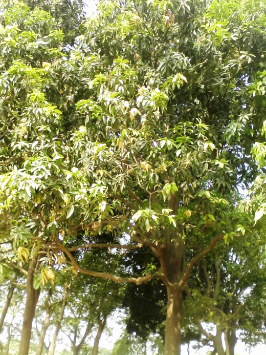 Mango Tree, Pics Captured by Me