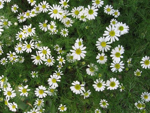 Roman Chamomile flowers