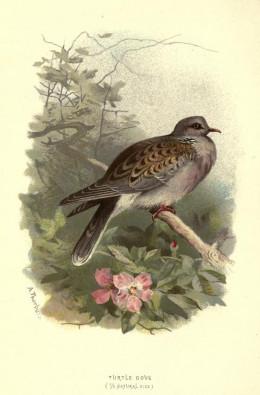 Familiar Wild Birds Swaysland  {1883}