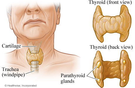 The superior parathyroids develop along with the thyroid and the inferior parathyroids develop along with the thymus. Twigs from the superior and inferior thyroid arteries supply the parathyroids.