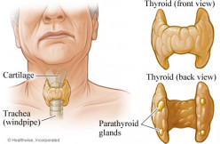 General Considerations And The Physiological Actions Of The Parathyroid Glands