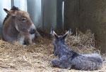 Roxanne & newborn Shadow Fox