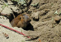how to get rid of pocket gophers in florida