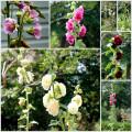 Hollyhocks: A Great Cottage Garden Flower