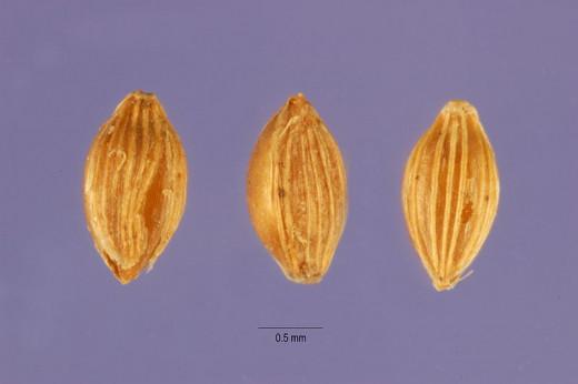 Fonio seeds are tiny, similar to Quinoa