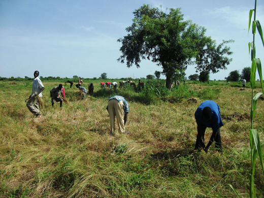Traditional harvesting of Fonio in Africa
