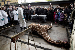 How do you feel about the Copenhagen Zoo spectator slaughtering of Marius?