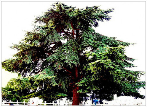 "Cider tree of Lebanon. ""Kedar"", ""Karagil"" in different names the tree is referred in Holy Bible. Cider tree is the national symbol of Lebanon"