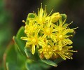 Rhodiola Rosea Health Benefits and Side Effects - (Siberian) Rhodiola Rosea for Depression (scientific review)