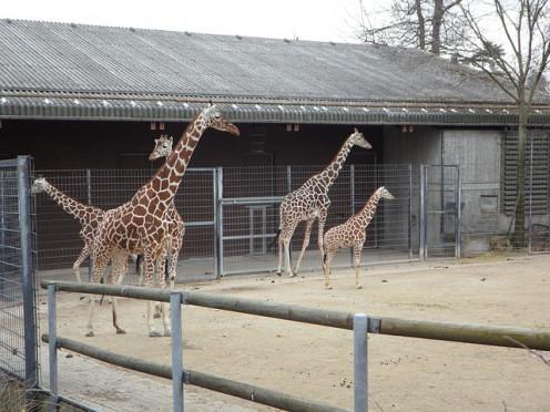 Giraffes in an African zoo.