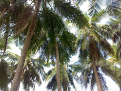 Beneficial Uses Of Coconut Oil