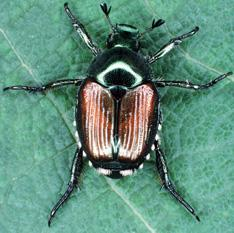 The Japanese beetle (Popillia japonica)  a serious pest of about 200 species of plants including basil.