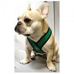 Teddy (French Bulldog) in a v-neck harness.