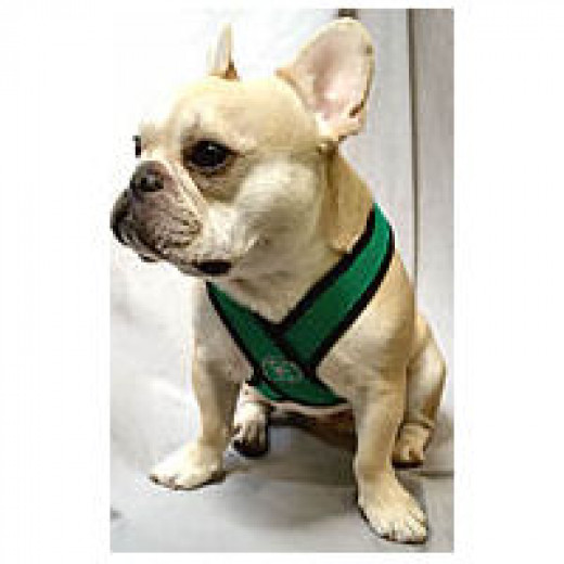 Teddy (French Bulldog) in a v-neck harness.