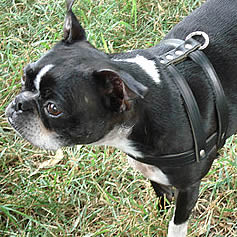 Ceilidh (Boston Terrier) in the good-old  H-style leather harness