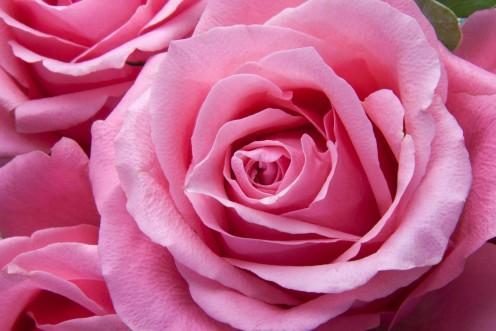 Roses Pink Family Rose Family Flora Plant Tender