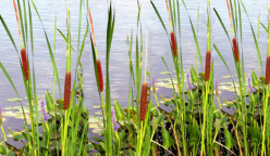 Free Food: Cattails