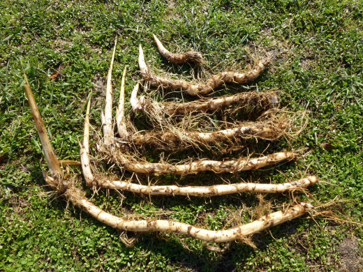 Cattail Rhizomes