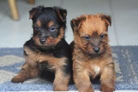 Australian Terrier puppies