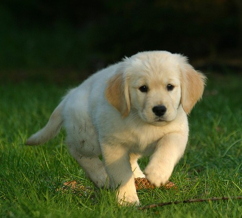 Your puppy can grow up healthy without holistic dog food.