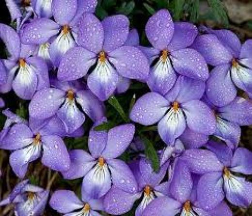 Birdfoot Violet